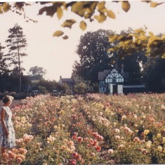 Date unknown. Stocker's Roses 1956-74, with Mrs Stocker, The Cottage in background. | (Deacon)