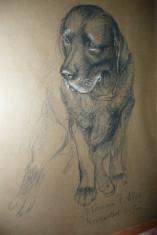 Labrador 'Snug' pic by Marion Allen