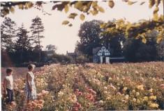 Stockers Rose Nursery run by Mrs Stocker 1956-74