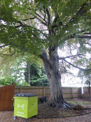 June 2016 very old tree still in front garden