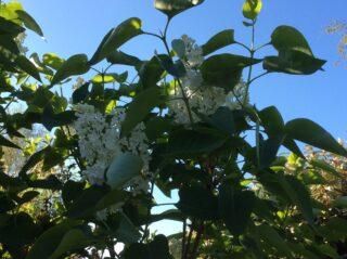 White lilac in garden | (J Elmes)