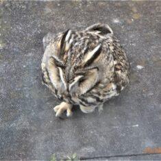 Owl hitting window March 2020 | (M Hughes)