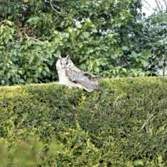 Owl on nearby hedge | (M Hughes)
