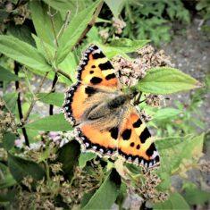 Tortoiseshell butterfly | (M Hughes)