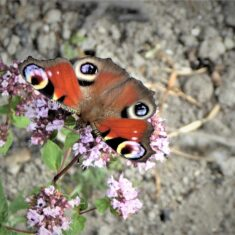 Peacock butterfly | (M Hughes)