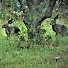 Hares in the garden | (M Hughes)
