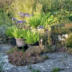 A hare on the patio | (M Hughes)