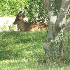 Deer in garden | (M Hughes)