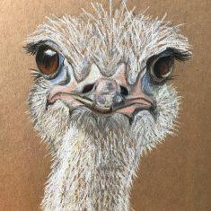 Ostrich in Africa | (Olivia Clarke)
