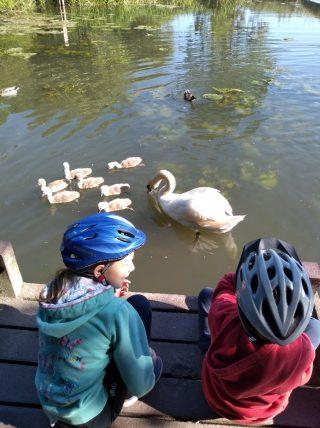 Swans & cygnets Byron's Pool   (G Warren)