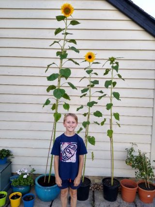 James' sunflowers   (J Warren)