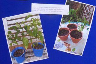 Chillies grown on scout window sills | (J Prisk)