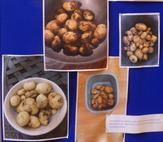 Scouts' home grown potato harvests | (J Prisk)
