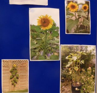 Sunflowers grown by scouts summer 2020 | (J Prisk)