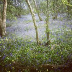 Bluebells woods | (K Davenport)